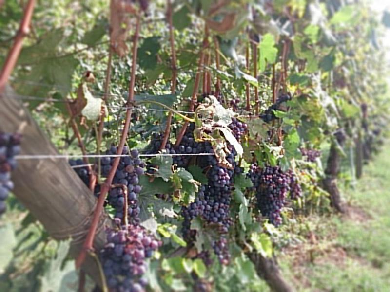 Langhe(ランゲ)地方・Alba(アルバ)のブドウ畑