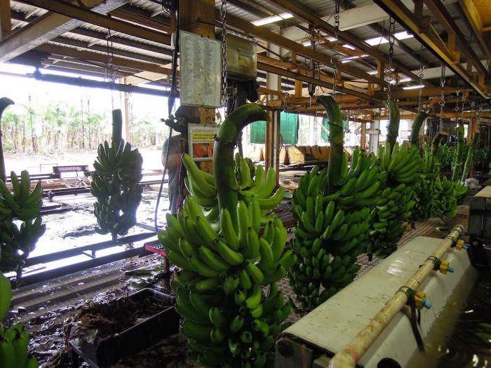 バナナファームのお仕事の流れ