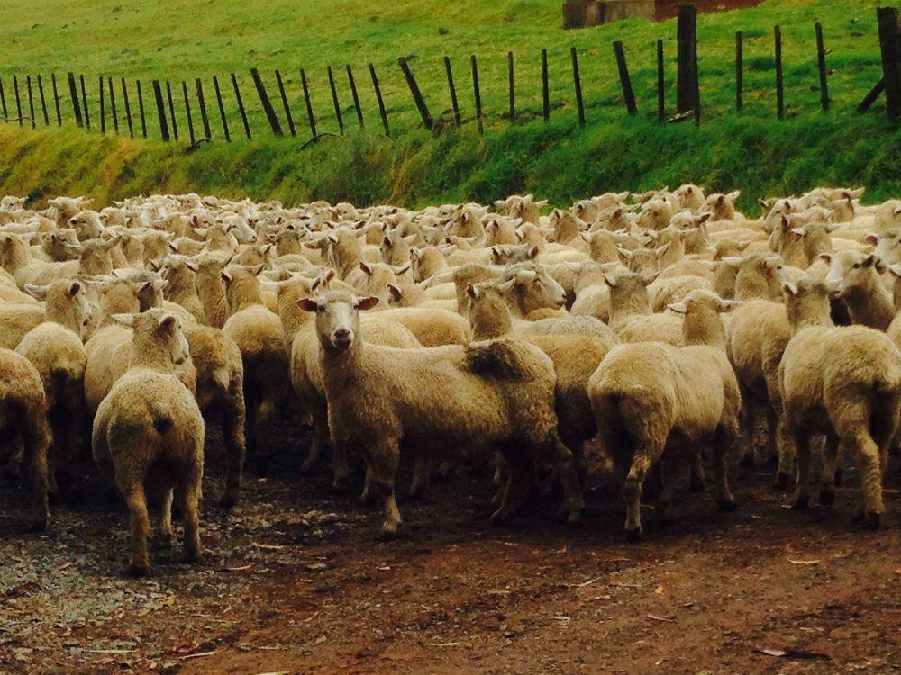 日本でもなかなか見られない羊の大群
